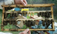 Beekeeping Experience for a Child or Adult with Lunch from Local Honey Man (Up to 67% Off)