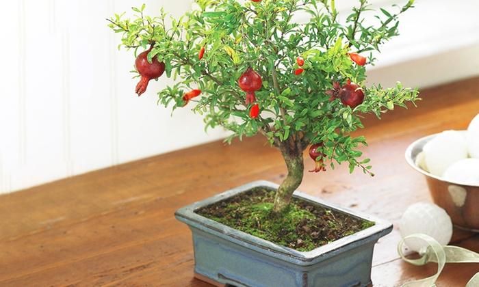 Bonsai di melograno nano groupon goods for Bonsai pianta