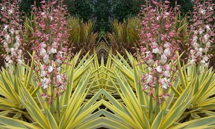 Plantes d 39 ext rieur yucca gloriosa groupon for Yucca exterieur