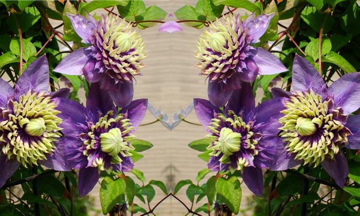 Clematis florida 39 taiga 39 groupon for Clematis florida