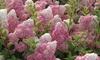 Hydrangea Vanilla Fraise - 1, 2 or 3 Plants with Optional Planter