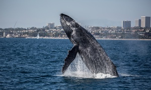 Ocean Explorer Cruises: One or Two Junior, Senior, or Adult Whale-Watching and Drink Tickets at Ocean Explorer Cruises (Up to 63% Off)