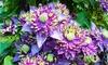Set di 2 o 4 piante di Clematis Taiga