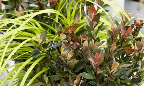 Set de 3 arbustos de Photinia de punta roja 'Chico'