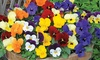 Up to 144 Winter Bedding Plants