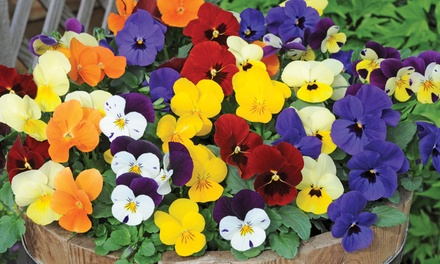 Colourful Winter Bedding Collection: 24, 36, 72 or 144 Plants