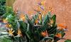 Set di 2, 4 o 6 piante di Strelitzia Reginae
