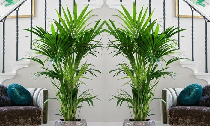 Palmera de interior kentia groupon goods - Plantas de interior palmeras ...