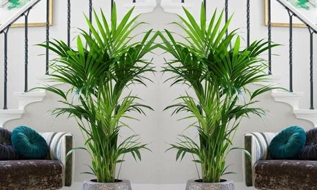 1 o 2 palmeras de interior kentia