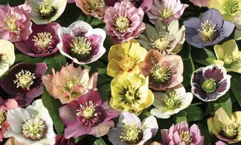 Hellebore Breeders Mix – 5 or 10 Plants
