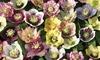 Hellebore Breeders Mix – 5 or 10 Plants