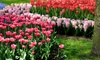 Pink Flower Bulb Collection (25-, 50-, or 100-Pack): Pink Flower Bulb Collection (25-, 50-, or 100-Pack)
