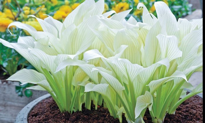 White feather hosta bare roots 3 pack groupon white feather hosta bare roots 3 pack mightylinksfo