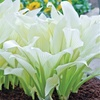 White Feather Hosta Bare Roots (3-Pack)