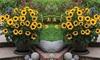 One, Two or Three Helianthus Sunflower SunBelievable Plants