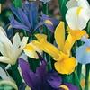 Pre-Order: Mixed Dutch Iris Bulbs (50-Pack)