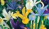 Pre-Order: Mixed Dutch Iris Bulbs (50-Pack): Pre-Order: Mixed Dutch Iris Bulbs (50-Pack)
