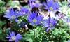Preorder: Wind Flowers Anemone Blue Shade Bulbs (50- or 75-Pack): Preorder: Wind Flowers Anemone Blue Shade Bulbs (50- or 75-Pack)