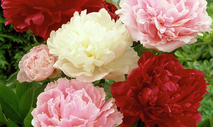 Pre-Order: Peony Bare Root Plants (6-Pack)