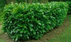 5, 10 or 25 Cherry Laurel Plants