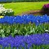 Blue Flower Bulb Garden Collection (40-Pack)