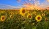 Sunny Sunflower Garden Roll-Out Seed Mats (3-Pack)