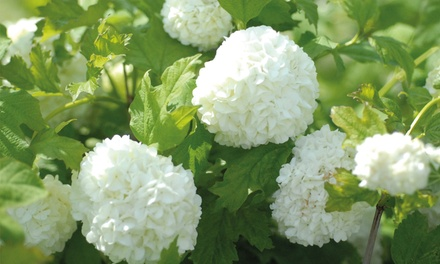 Viburnum Opulus Snowball Shrub Up to 3 Plants