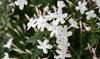 Plantas de Jasmín blanco