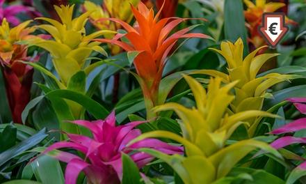Set van 3 exotische planten Guzmania in kleurrijke potten