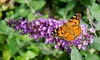 3x oder 6x Schmetterlingsflieder