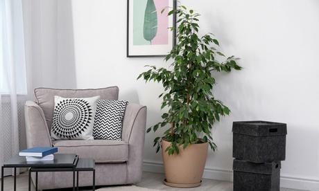 Conjunto de 2 plantas Ficus Benjamina