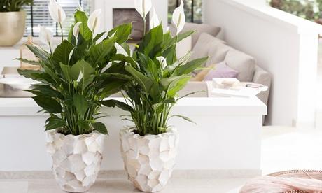 2, 4 o 6 plantas de Spathiphyllum de 30-40 cm de altura