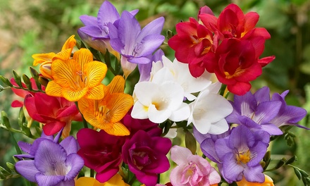 50, 100 or 200 Mixed Bulbs of Scented Freesia