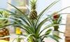 1 et 2 Ananas cultivé 45-55cm