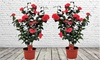 2er-Set winterharte Kamelien mit dekorativen Blüten in Rot bis Pink
