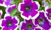 5 or 10 Petunia Hippy Chick Violet Plugs