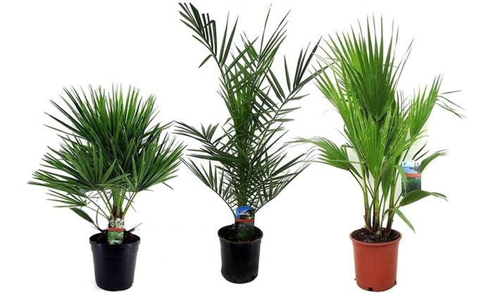 Hasta 71 palmeras de exterior groupon for Palmeras de exterior