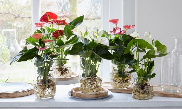 Plant In Glazen Vaas.Set Van 3 Anthurium Planten Met 3 Glazen Vazen