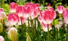Mixed Sorbet Ice Cream Tulip Bulbs (24-, 32-, or 40-Pack)