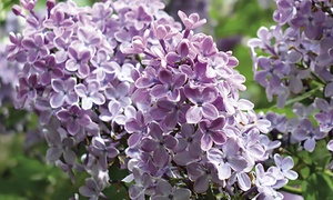 Purple Lilac Rootstock
