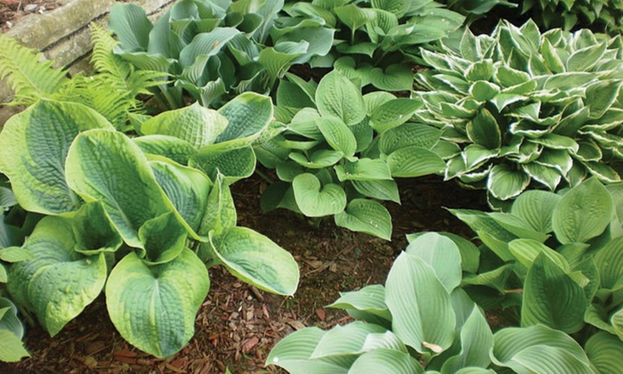 Hosta Plants From Gardening4less Groupon Goods