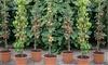 4 or 8 Columnar Fruit Trees