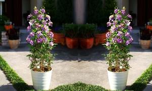Plante Clematis Florida Taiga