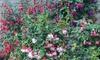 Lucky Dip Fuchsia Collection