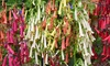 5 or 10 Phygelius 'Colourbust Collection' Plants