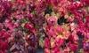 Parthenocissus Henryana (Virginia Creeper) 2L Pot Plant