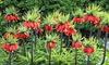Fritillaria Flower Bulbs: Fritillaria Flower Bulbs