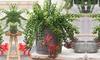 Plantes Aeschynanthus Twister