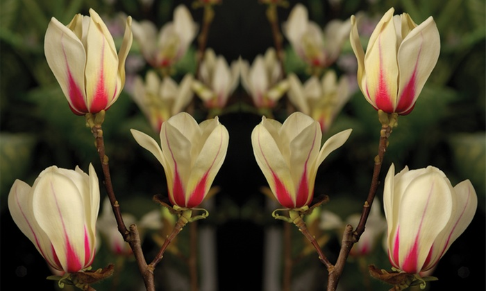 Magnolia Auto Group >> Magnolia Tree Collection | Groupon