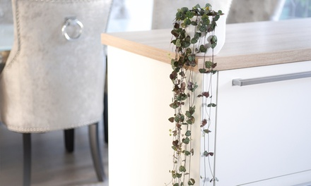 One or Two String of Hearts Plants with Hanging Planters